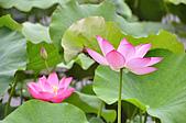 100606植物園荷花初開之喜悅:_DSC3696.JPG