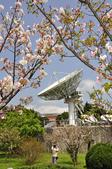 100312陽明山衛星站台附近的櫻花:_DSC0019.JPG