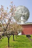 100312陽明山衛星站台附近的櫻花:_DSC0020.JPG
