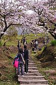 100316悠遊在櫻花的最高殿堂:阿里山櫻花:_DSC0446.JPG