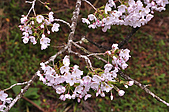 100316悠遊在櫻花的最高殿堂:阿里山櫻花:_DSC0447.JPG