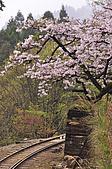 100316悠遊在櫻花的最高殿堂:阿里山櫻花:_DSC0564.JPG