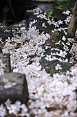 100419帶著相機去流浪:土城桐花公園的四月雪:_DSC1864.JPG