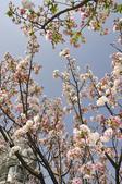 100312陽明山衛星站台附近的櫻花:_DSC0023.JPG