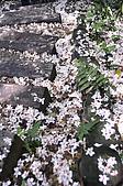 100419帶著相機去流浪:土城桐花公園的四月雪:_DSC1865.JPG