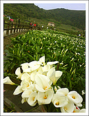 竹子湖海芋 Calla Lily:Drop of the sunray on calla lily.jpg