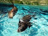 Hk Ocean Park ~:California Sea Lion..
