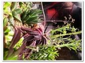 多肉植物:nEO_IMG_R0011645.jpg