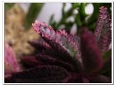 多肉植物:R0011646.JPG