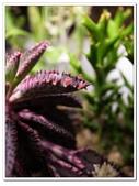 多肉植物:R0011649.JPG