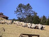 歆妤Baby-2~3歲:耶呼-開始了-牧羊犬開始趕綿羊了