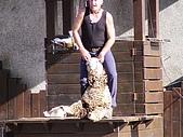 歆妤Baby-2~3歲:綿羊秀重頭戲-剪羊毛即將開始