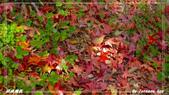 2011年武陵楓紅:IMGP2662.jpg