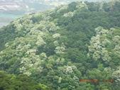 120424桐花開了 鳶山群峰-油桐花開了:120424 14五十分山 望福安宮稜線上.jpg