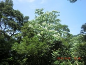 120424桐花開了 鳶山群峰-油桐花開了:120424 20走在油桐花下.jpg