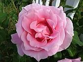 玫瑰多嬌加州尤甚:016.JPG