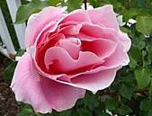 玫瑰多嬌加州尤甚:018.jpg