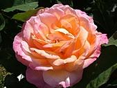 玫瑰多嬌加州尤甚:019.JPG