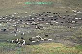 南北疆旅行之二掀開序幕:DSCF2920轉場羊兒縱隊前進.jpg