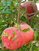 南北疆之42核桃王神木園:11和田到喀什的石榴皮薄粒大子小汁多色似紅寶汁如蜜.JPG