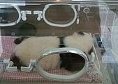 從貓熊來台說起:20育嬰箱裡的貓熊寶寶.JPG