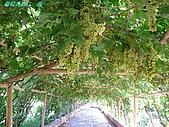 南北疆之42核桃王神木園:06葡萄長廊之一段.JPG