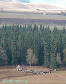 南北疆旅遊之28印象雲杉:16雲杉林邊的草原蒙古人家.jpg