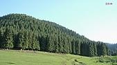 南北疆旅遊之28印象雲杉:30雲杉林.JPG