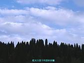 南北疆旅遊之28印象雲杉:19藍天白雲下的雲杉屏籬.JPG