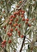 南北疆之48香妃傳奇:11香妃思念的沙棗.JPG