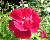 玫瑰多嬌加州尤甚:010.JPG