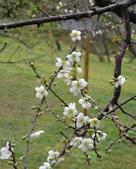 乍暖還寒梅開幾度:梅花10.jpg