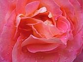玫瑰多嬌加州尤甚:001.JPG