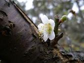 乍暖還寒梅開幾度:梅花1.jpg