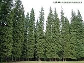 南北疆旅遊之28印象雲杉:12高達5-60米的雲杉很規矩的排隊成長著.JPG