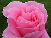 玫瑰多嬌加州尤甚:002.JPG