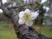 乍暖還寒梅開幾度:梅花2.jpg