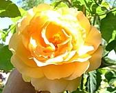 玫瑰多嬌加州尤甚:003.JPG