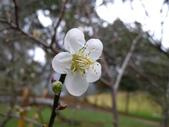 乍暖還寒梅開幾度:梅花3.jpg
