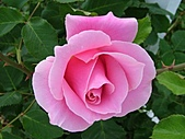 玫瑰多嬌加州尤甚:004.JPG