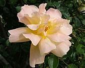 玫瑰多嬌加州尤甚:005.JPG