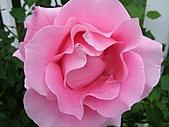 玫瑰多嬌加州尤甚:006.JPG