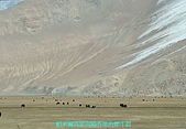 南北疆之完結篇《走在帕米爾高原上》:04谷地牧場犛牛群.JPG