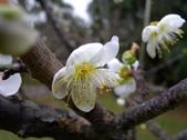 乍暖還寒梅開幾度:梅花8.jpg