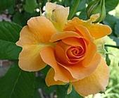 玫瑰多嬌加州尤甚:009.JPG
