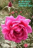 南北疆之42核桃王神木園:17像少數民族鮮亮熱情的玫瑰花.JPG