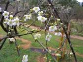 乍暖還寒梅開幾度:梅花11.jpg