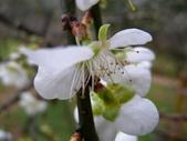 乍暖還寒梅開幾度:梅花12.jpg