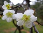 乍暖還寒梅開幾度:梅花15.jpg