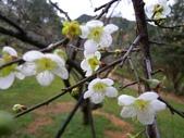 乍暖還寒梅開幾度:梅花17.jpg